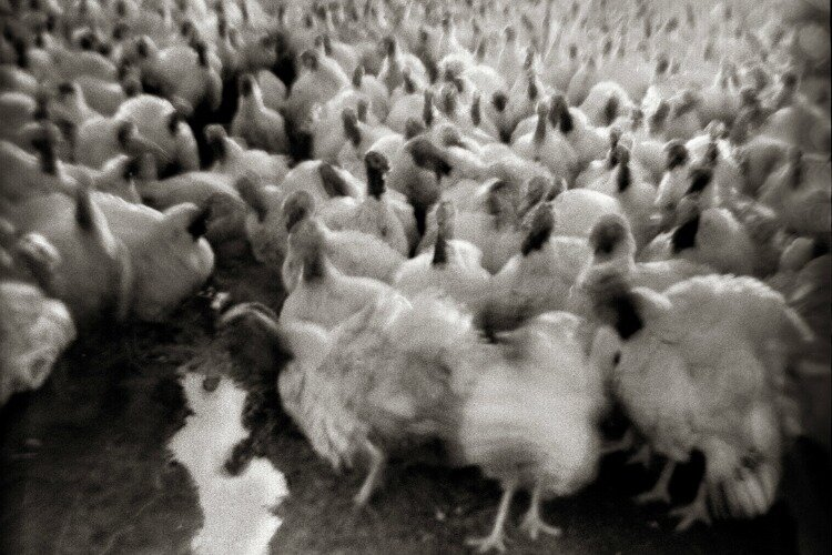 """Turkeys Advance,"" Albany, Ohio, 1973"